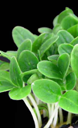 lemon cress